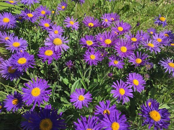 Flowers in Transylvania w