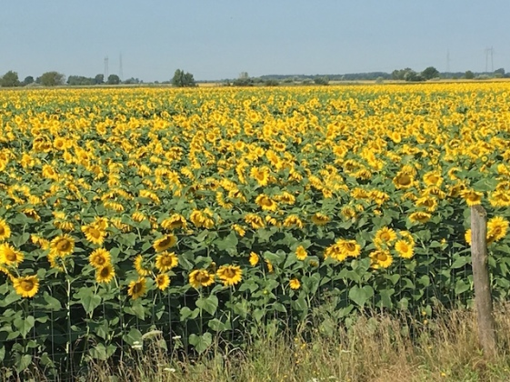 Sunflowers_m